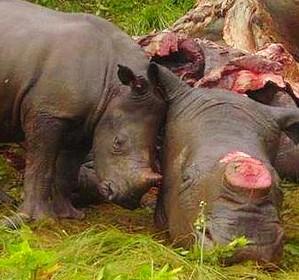 rinoceronte-e-piccolo