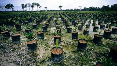 foresta distrutta per dare spazio a queste palme da olio