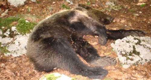orso avvelenato senza scrupoli in molise.forse aveva rubato qualche pollo?