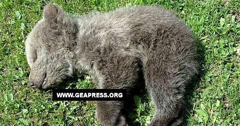 Il cucciolo di orso che lo scorso nove maggio è stato rinvenuto morto in Val Ambiez (TN), è deceduto a causa di un forte colpo alla testa.