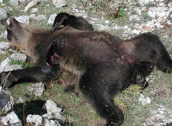 Orso marsicano avvelenato in Abruzzo