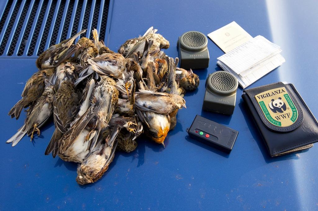 uccelli protetti attirati con richiami vietati ed uccisi