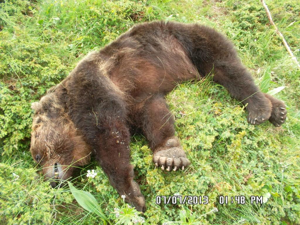 orso Stefano attirato con un esca ed ucciso a fucilate