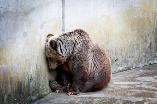 Orso-in-cattività1